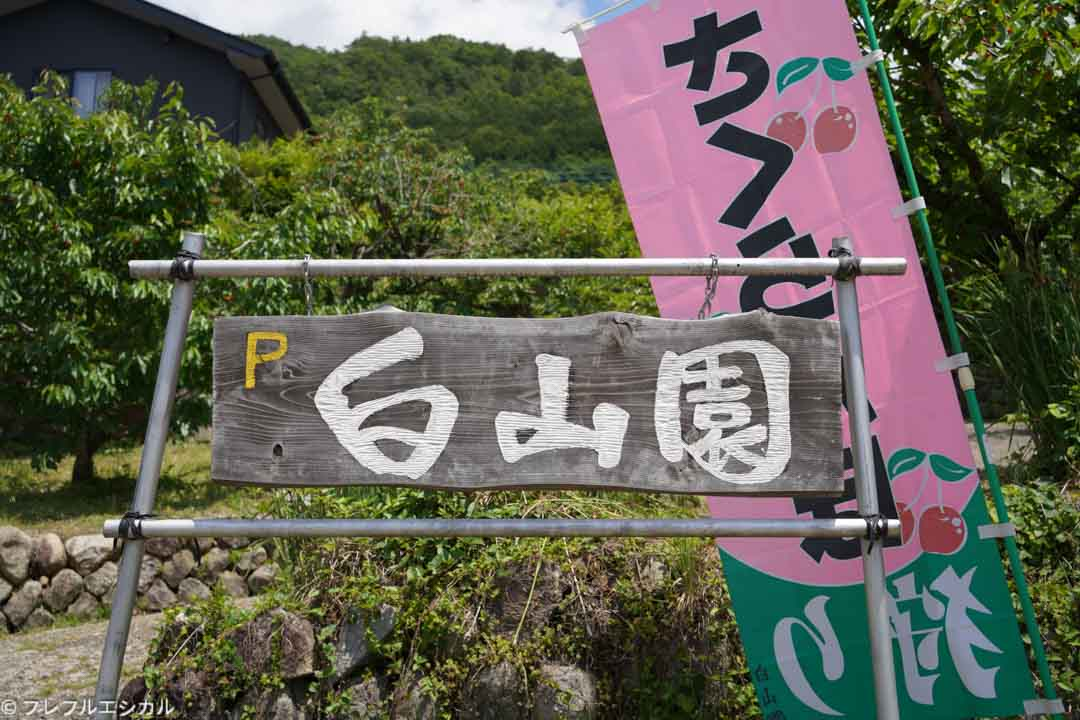 Recommended farm for hunting cherries in Yamanashi